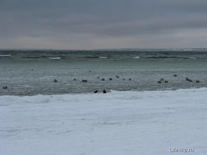 Балтийское море. Утки.