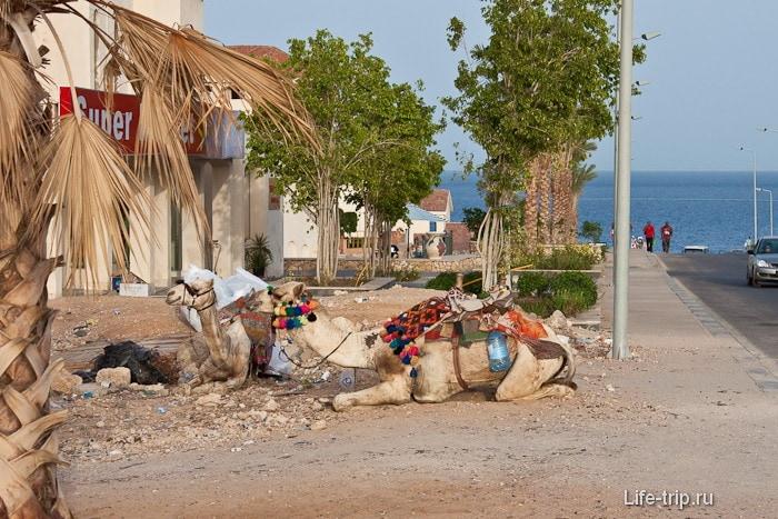 Верблюды в Шарм-эль-Шейхе.