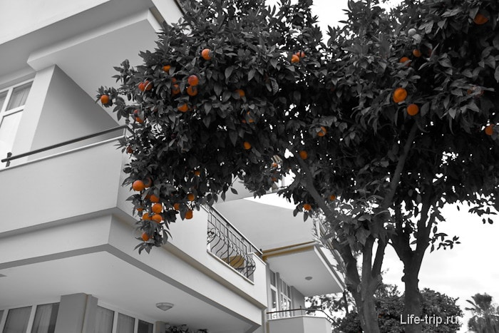 Город Кемер. Апельсиновые деревья.
