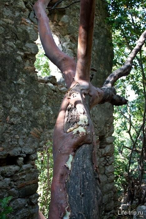 Странное дерево в развалинах крепости.
