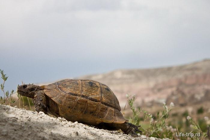 Черепаха, наша соседка.