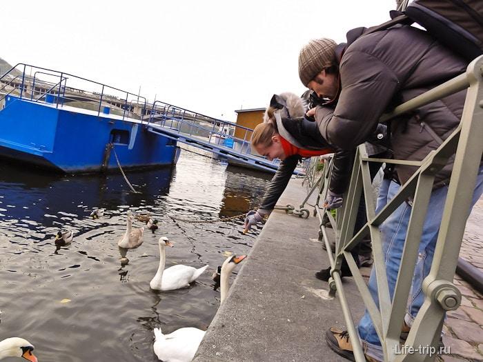 А в самом центре Праги в реке Влтаве плавают лебеди-попрошайки