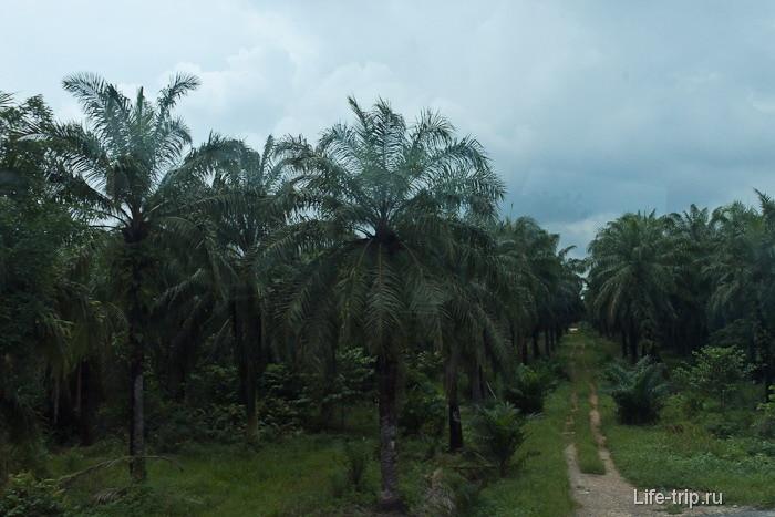 Пальмы-ежики вблизи
