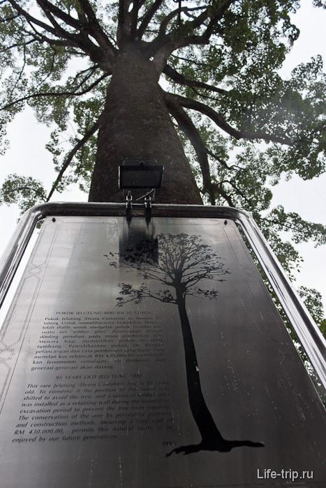 Старое дерево около Менары