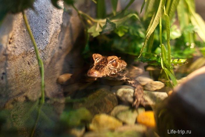 Один из самых маленьких крокодилов, как гласила табличка