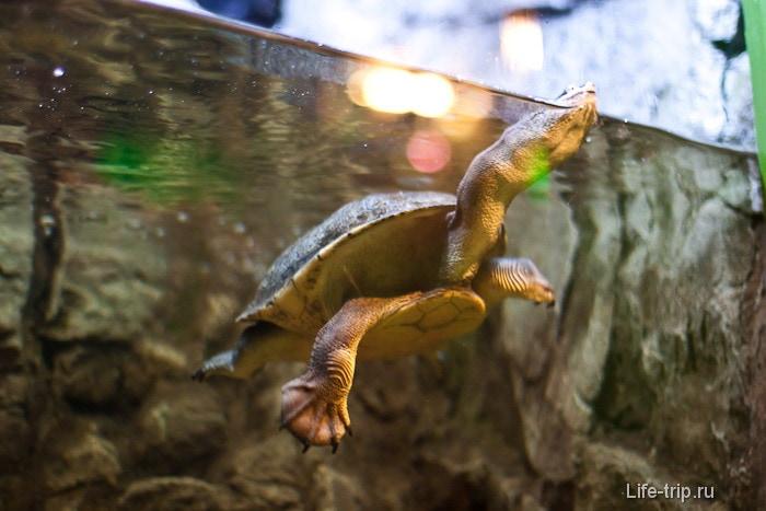 Длинношеее черепахо в своем дивном танце