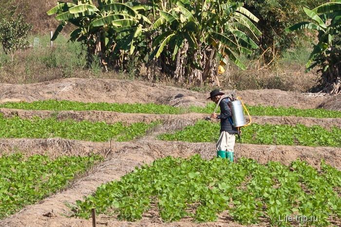 Сельское хозяйство в Пай