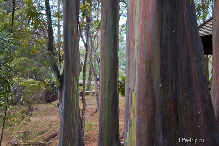 Деревья как пластилиновые - эвкалипты