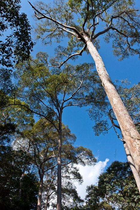 Деревья в джунглях высоченные