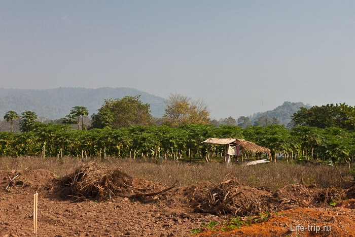 Поля около Чианг Саен