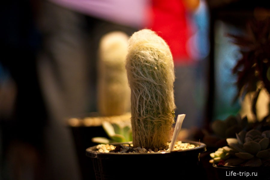 Мохнато-волосатый кактус