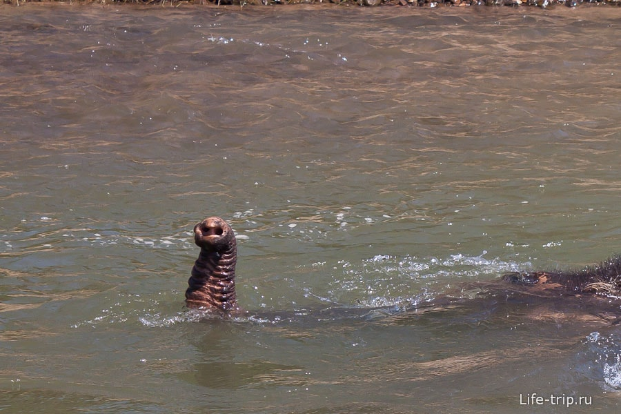 Иногда слон полностью уходит под воду
