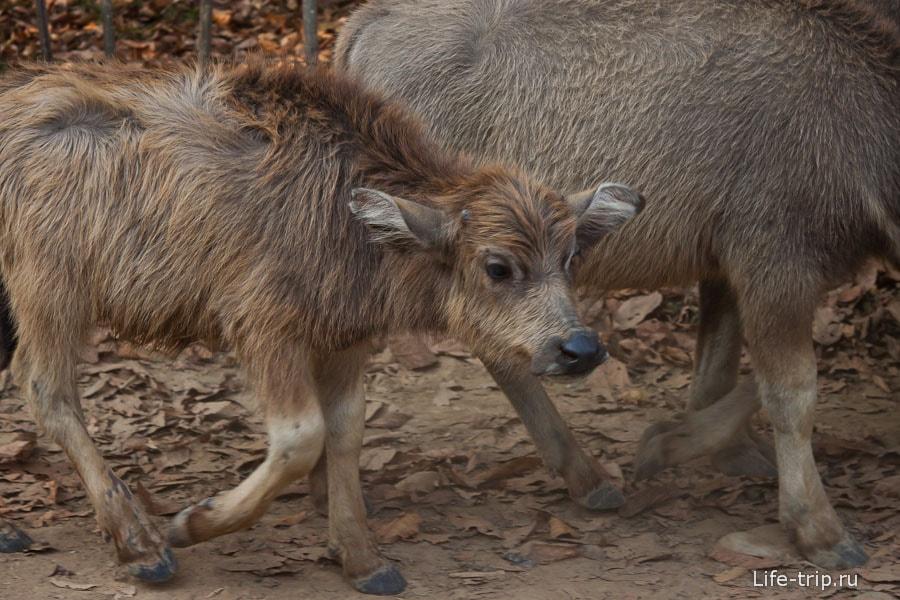 По дороге встретили водяных буйволов