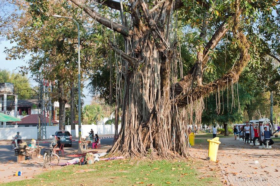 Просто красивое дерево на набережной Вьентьяна