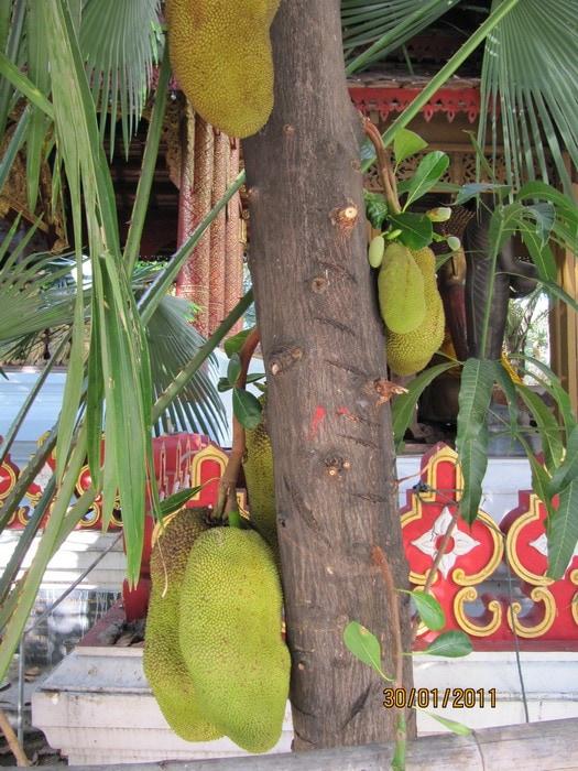 Джекфруты растут на деревьях