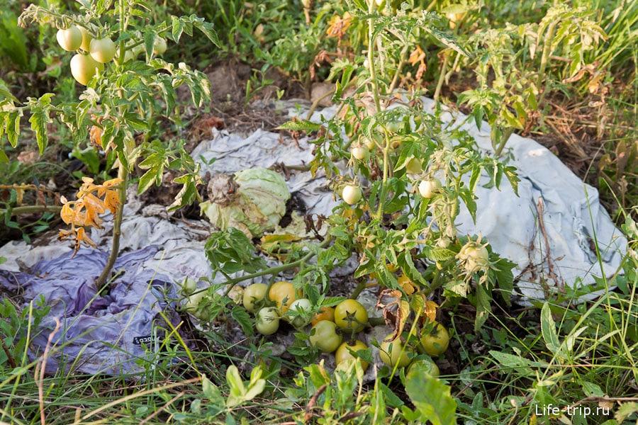 Мини-грядка с помидорами