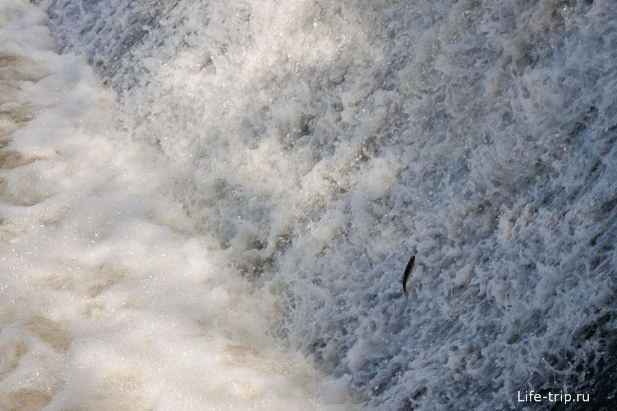 Рыба выпригивает из воды навстречу потоку