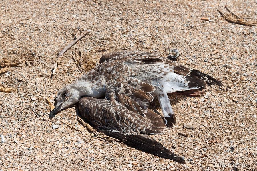Мертвая чайка на берегу