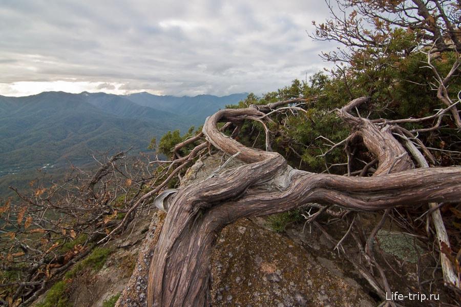 Эк дерево раскорячило