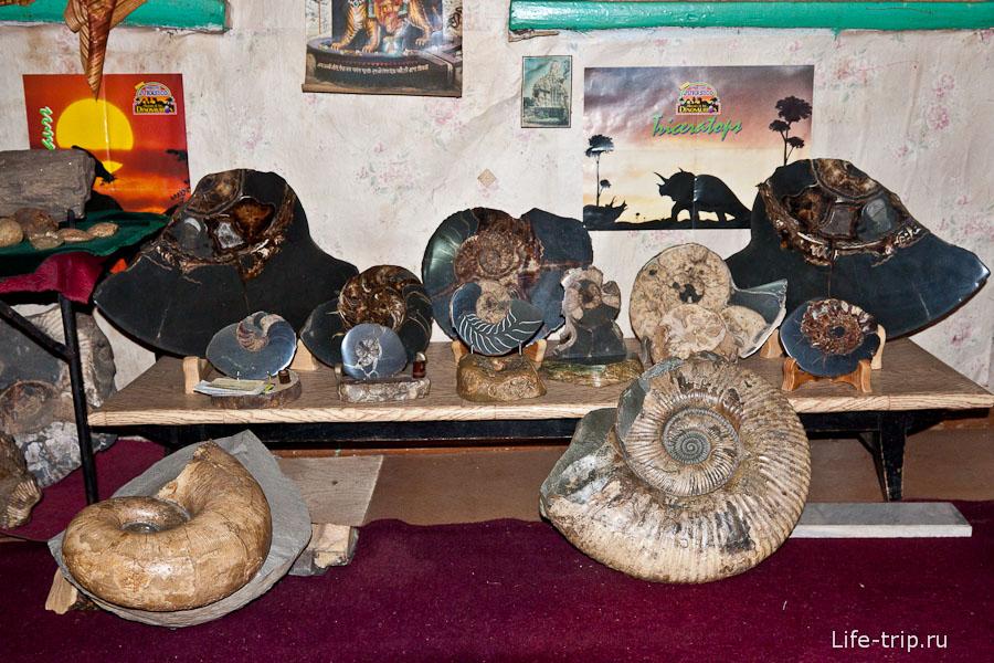 Коллекция аммонитов Евгения