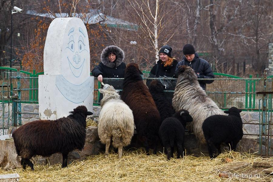 Посетители кормят баранов