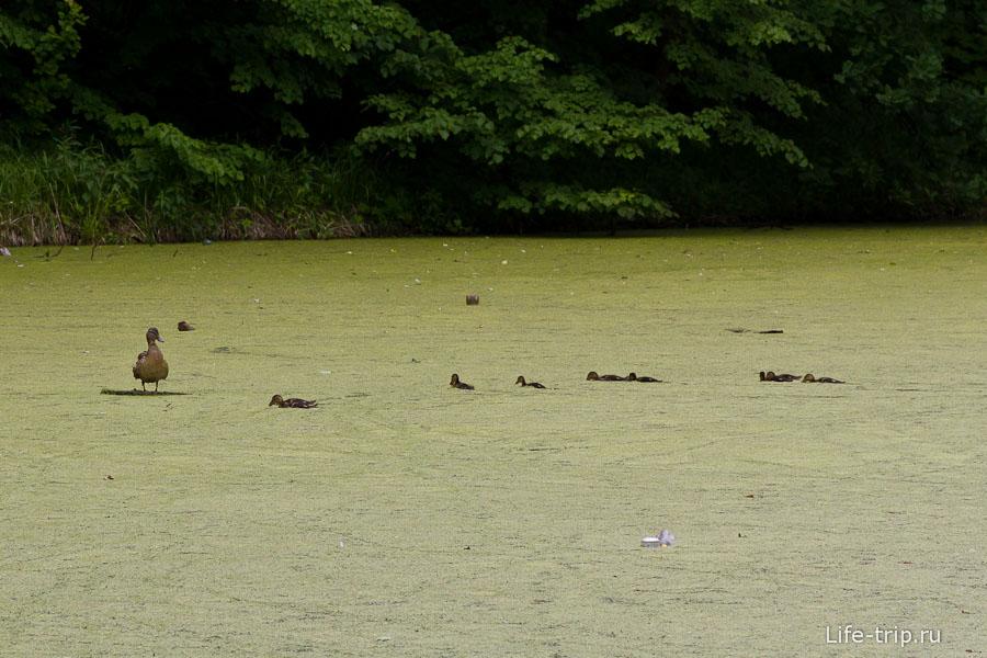 Утки с трудом плавают по заболоченному пруду