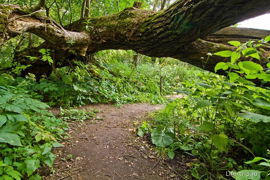 Некоторые деревья образуют арки