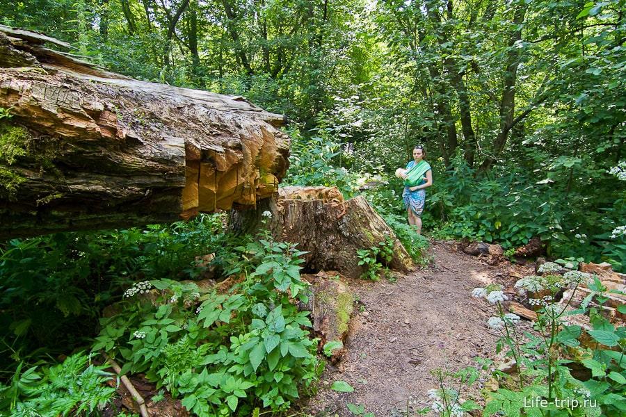 Некоторые из деревьев поражают своей толщиной