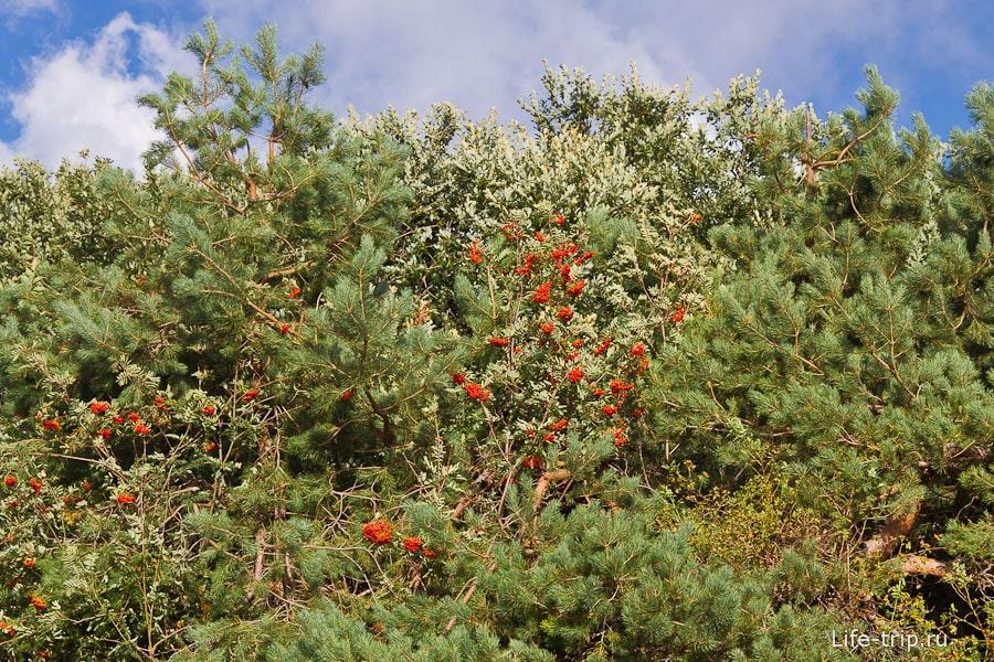 Красные ягоды рябины на фоне хвойных иголок