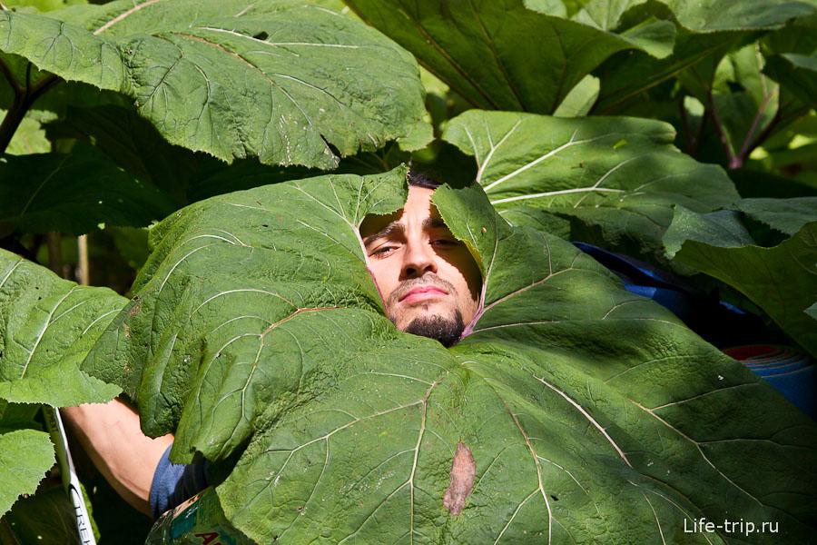 Лопухи на Суате растут такие, что от дождя можно прятаться