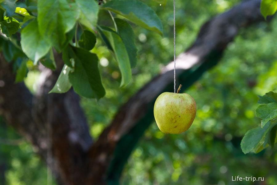 Если яблоки не растут, их можно подвесить на веревках