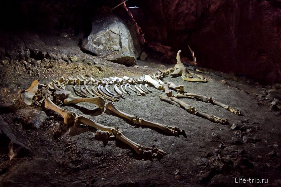 Скелет бизона европейского