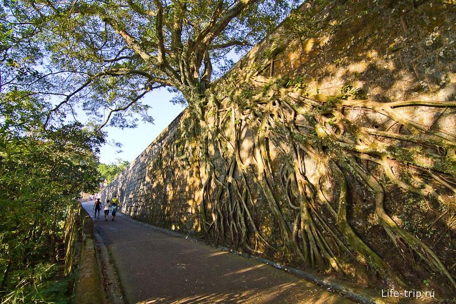 Дерево растет прямо из каменной стены