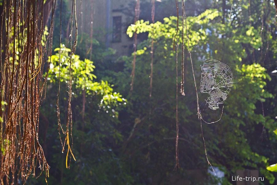India Rubber Tree и паутина в лучах заходящего солнца
