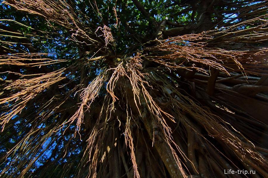 India Rubber Tree - свисает почти до пола
