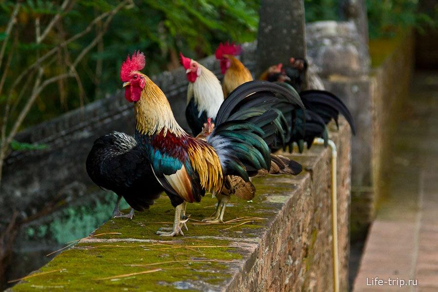 Петухи живут при храмах и у местных жителей, кукарекают по утрам
