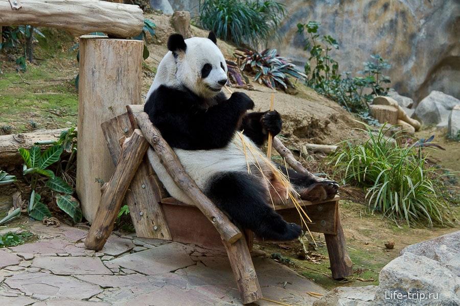 Панды живут только в зоопарках и по улицам не ходят