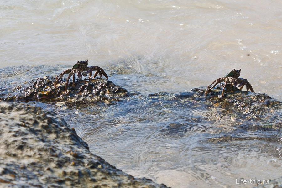 Крабы постоянные жители пляжных камней