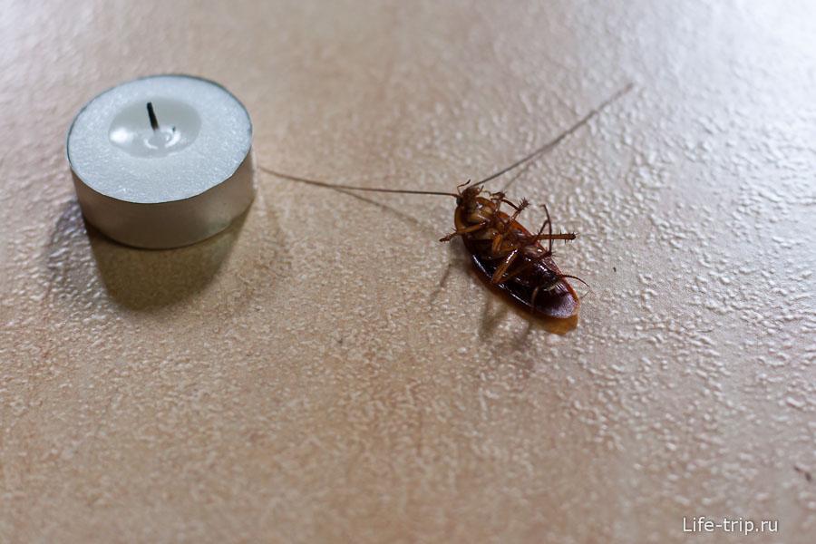 Тараканы в Таиланде большие