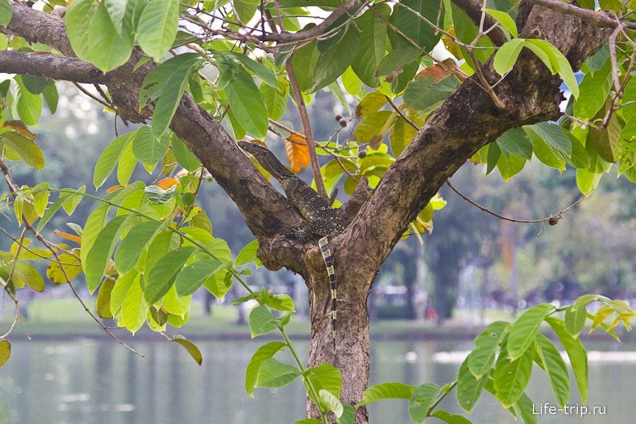 В Бангкоке и рядом с реками можно встретить варана