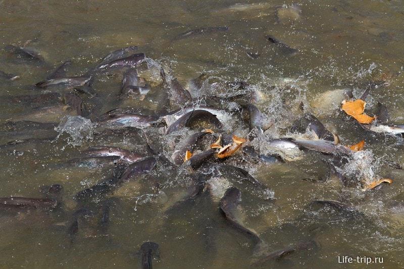 В Чао Прайе водится много рыбы и ее можно покормить