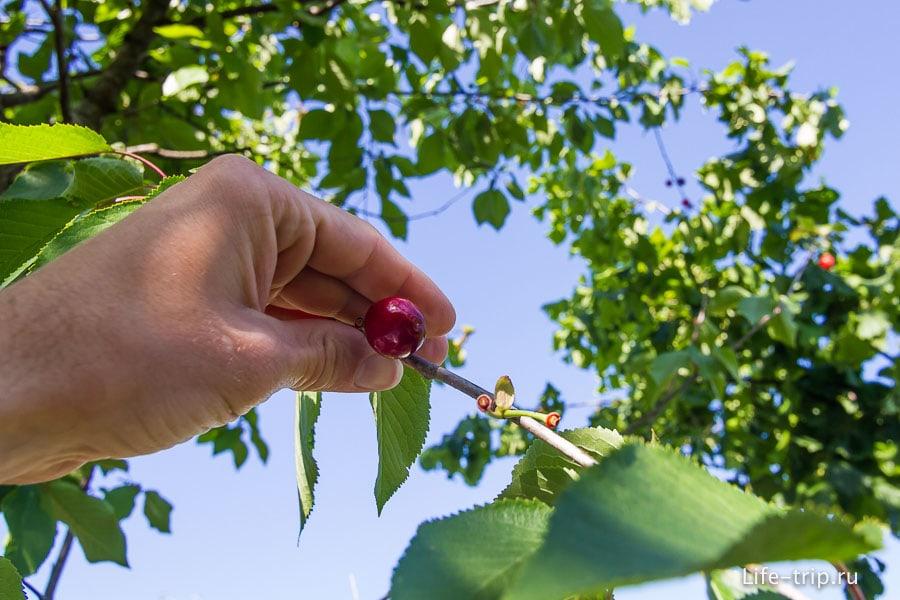 В саду на дереве растет настоящая черешня