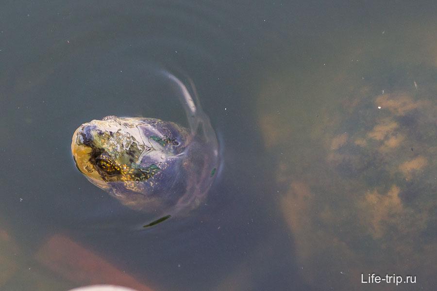 Здоровые черепахи в пруду