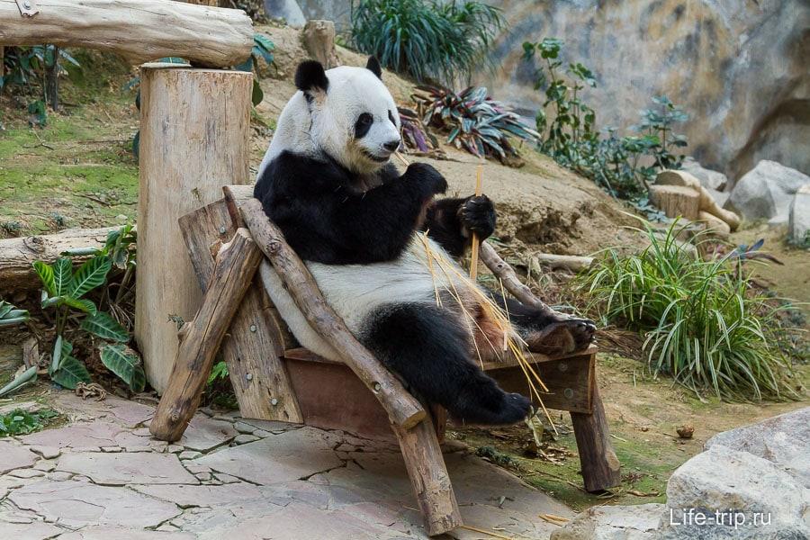 Панда сидит в кресле и хомячит бамбук