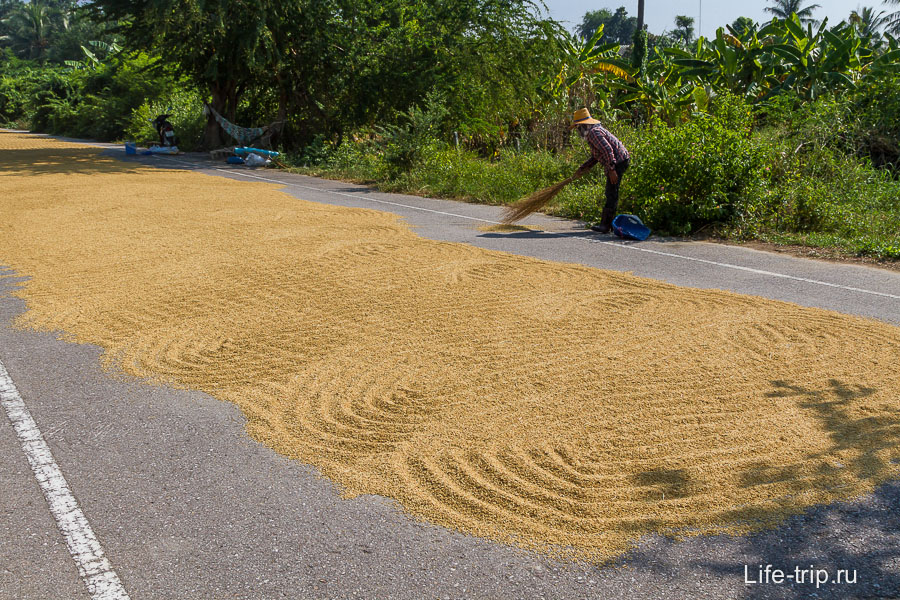 Вот так сушат рис, прямо на асфальте