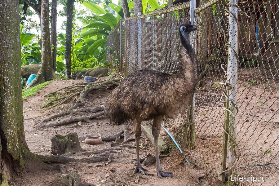 Настороженный страус