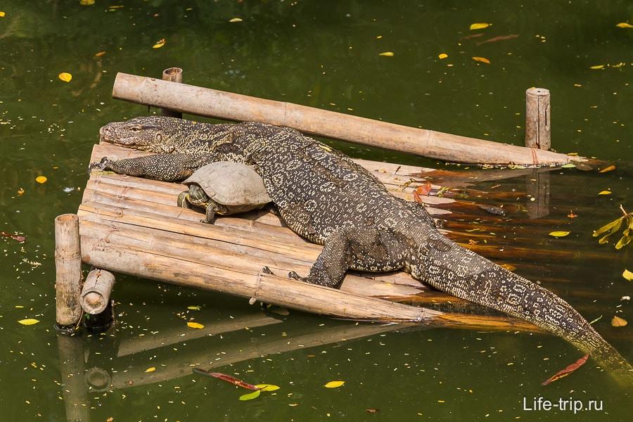 В пруду живут черепахи и вараны
