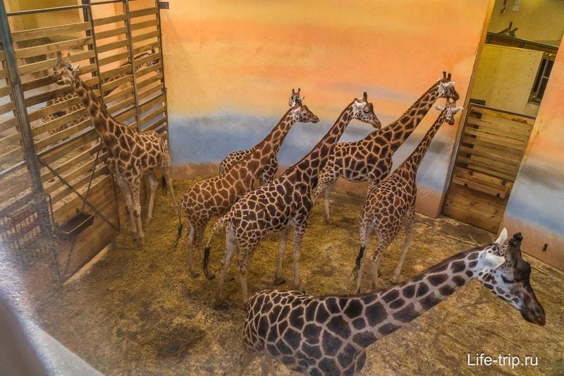 Жирафы в Пражском Зоопарке