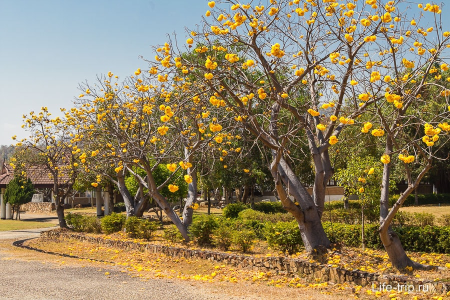 Около беседки растут деревья с большими желтыми цветами