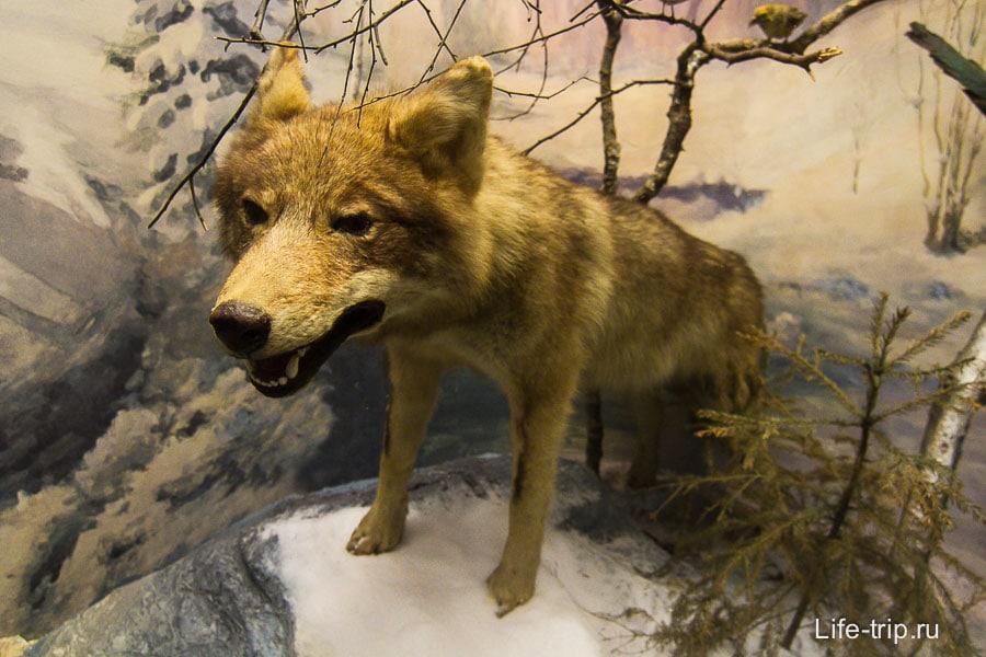 Волк довольно грозный